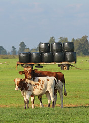 Composition with cows (NLHank) Tags: canon eos cow cows 7d koe koeien 2014 agro agrarisch compositie eos7d nlhank