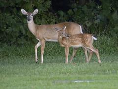deer (watts_photos) Tags: deer