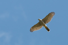 IMGL2479 Spurvehg - Accipiter nisus (Thanks for visit Soes' photo from the lovely natur) Tags: birds fly flying flight views 100views birdsinflight 300views 100 sverige 500views raptors intheair sparrowhawk 1000views falsterbo fugle rovfugle flyvende iluften canoneos5markiii solveigsterschrder spurvehgaccipiternisus flyvendefugle