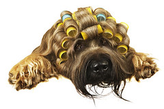 Curlers (jjgsmits) Tags: germany fun frisur hund haare briard friseur funportrait hundesalon locken langehaare blondine friseurin lockenwickler hundeportrait hundefriseur blondehaare briardportrait hundefrisur