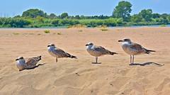 Els quatre tenors. (josepponsibusquet2011) Tags: playa aves catalonia catalunya aus costabrava c