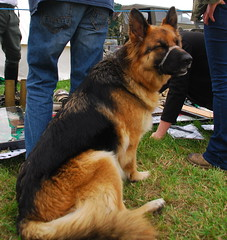 German Shepard (Sam Tait) Tags: show england leicestershire victory german shepard cosby