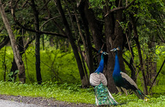 Indian Peacock (neerav.karia) Tags: india birds forest wildlife feathers peacock gir indianpeacock