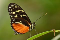Butterfly, Noorderdierenpark Emmen (Rene Mensen) Tags: orange black butterfly insect zoo nikon rene emmen vlinder mensen vlindertuin d5100