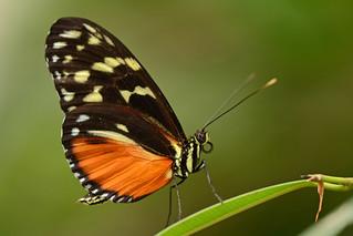 Butterfly, Noorderdierenpark Emmen