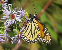 Monarch & Asters (Explore) (Diane Marshman) Tags: flowers wild orange white plant black fall nature yellow canon butterfly petals wings purple native pennsylvania wildlife blossoms lavender powershot pa spots monarch tall wildflowers blooms northeast aster perennial blooming abdomen sx50