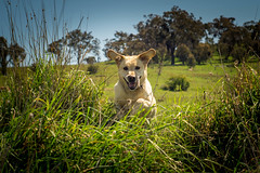 Frolicking in Spring (cheekeemonkeez) Tags: labrador sony retriever canberra a58