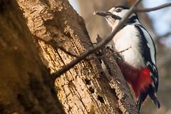 great spotted woodpecker @work , grote bonte specht (kPepels) Tags: woodpecker great spotted specht grote bonte heidekamp