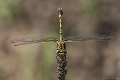 common sanddragon (explored 7/2/2015) (robert salinas) Tags: austin texas unitedstates