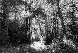 winter sunlight pours through the trees in B&W, Bois de Breuil, near Honfleur, Calvados, Normandy, France