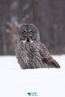 ''la confiance!'' Chouette lapone-Greay Owl