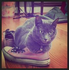 Oh my god, shoes. (tenhourclock) Tags: instagram converse chucks chucktaylor shoe shoes animals graycat greycat pets pet cats cat