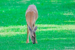 As the deer paneth (Thank you, my friends, Adam!) Tags: adamzhang orlando lakemary nikkor standard lenses telephoto super closeup zoom ngc 漂亮 nikon dslr 长焦 长焦镜头 尼康 镜头 中佛州 野生动物 保护区 单反 lens central florida wildlife macro flower beauty curve color colorful colors 色彩 多姿 beautiful gorgeous world100f
