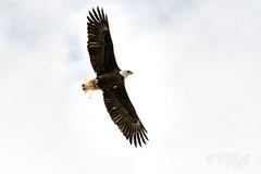 Bald Eagle - Port Franks