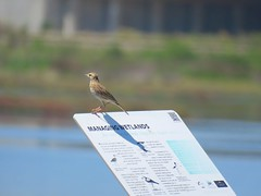 Anthus novaeseelandiae 1 (barryaceae) Tags: australian bird birds aves australianbirds kooragang wetlands ash island newcastle ausbirds ausbird australasian pipit anthus novaeseelandiae