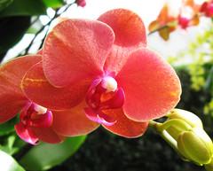 Elegant (Puzzler4879) Tags: orchids orchid nybg newyorkbotanicalgarden botanicalgardens mothorchids phalaenopsisorchids orchidshows flowershows a580 canona580 powershot powershota580 canonpowershota580 canon canonphotography canonaseries canonpointandshoot pointandshoot canonpowershot doublefantasy