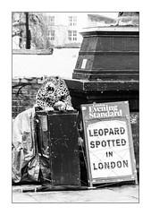 Ready to Pounce ... (junepurkiss) Tags: leopard pigeon prank eveningstandard camden london