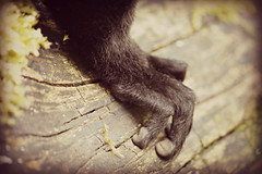 Dudley Zoo: The Grip (darrenboyj) Tags: feet animal zoo hand lemur grip gripping dudleyzoo darrenboyj