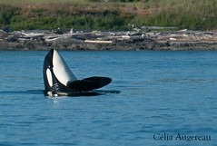 Orque residente (Celia Augereau) Tags: sea canada nature washington pod wildlife columbia killer whale british orca bosse humpback samish breach baleine cetacean orcinus spyhopping orque j14 cetac
