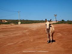 donkey Silverton Pub (Paula McManus) Tags: road ass landscape silverton donkey railway olympus newsouthwales outback mule brokenhill railwaycrossing whitedonkey paulamcmanus equusafricanusasinus silvertonpub