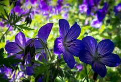 Crane's-bill (Raggedjack1) Tags: blue flower purple wildgarden blueflower cranesbill hardygeranium