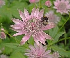 The Pollenator (Bricheno) Tags: schottland szkocja scotland scozia escocia escòcia écosse scoția 蘇格蘭 स्कॉटलैंड σκωτία bricheno paisley flower bee bumblebee barshawpark