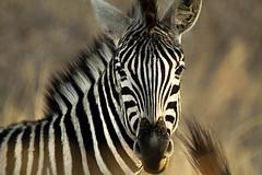 Africa journey (crafty1tutu (Ann)) Tags: travel animal southafrica zebra krugernationalpark anncameron inthewild specanimal canon50d pilanesberggamepark canon100400mmlens naturethroughthelens thebestgallery gettycontributor crafty1tutu