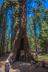 DSC_4098 (alanstudt) Tags: california forest nationalpark nikon yosemite redwood sequoia yosemitevalley giantredwood giantsequoia mariposagrove d600 thecaliforniatunneltree shotinrawformat afsnikkor28300mmf3556gedvr alanstudt adobelightroom5
