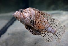 Lionfish (pringle-guy) Tags: fish london animals nikon sealife lionfish londonaquarium