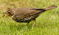2011-05-20-12-54-39-0002.jpg (martinbrampton) Tags: england bird unitedkingdom wildlife thrush brampton may2011 townfootpark