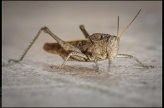 gafanhoto (emersonik) Tags: detail animal animals closeup insect insects inseto grasshopper animais arthropods animalia grasshoppers arthropoda detalhe invertebrate invertebrates arthropod insetos gafanhoto gafanhotos insecta artrpodes artrpode invertebrado invertebrados tucura tucuras