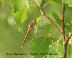 Common darter_female FENR 021