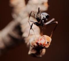 Phyllocrania paradoxa, Ghost mantis, L2 (_papilio) Tags: mantis nikon ghost invertebrate canonmpe65mm papilio mantid arthropod paradoxa ghostmantis phyllocrania d800e