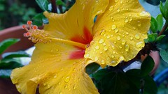 Hibiscus and rain drops (olivierbxl) Tags: windows summer flower nature water rain nokia droplets drops phone belgium bokeh hibiscus raindrops waterdrops 1020 lumia pureview wpphoto shotonmylumia shotonlumia