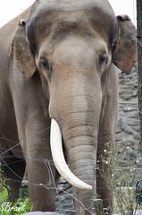 Pairi Daiza (Samantha_Brant) Tags: park pet pets animal animals zoo nikon tele animalpark telelens daiza 55300 pairi 55300mm d5100 pairadaiza nikkor55300 nikkor55300mm nikond5100