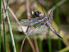 Broad-bodied Chaser, female - 1