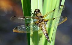 A beautiful basker! (SteveJM2009) Tags: uk light sun colour detail june island wings dragonfly dorset poole basking stevemaskell 2014 brownsea