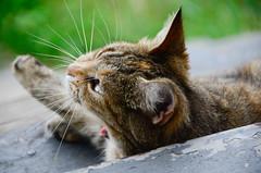 super-yawn! (Christopher Wallace) Tags: cat kitty lacy stray feline nikon d7000 digital 18200mm 18200mmvr 18200 radford virginia va southwestvirginia newrivervalley animal furry cute adorable yawn tired sleepy cc100 gato kot chat katze neko kat poesje miauw face whiskers outdoor