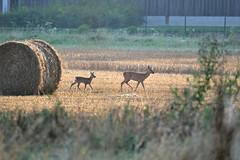 Chevrette et faon (Morgane_W) Tags: nikon champs deer animaux roe sauvages rut faune capreolus chevreuils faon cervids chevrette d3100