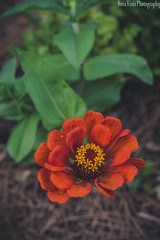 (novavistaphotography) Tags: flowers orange plant flower green nature floral leaves 50mm flora naturallight naturephotography nikond3200 flowerphotography