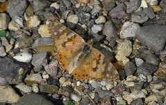 Painted Lady (sandlings) Tags: butterfly paintedlady