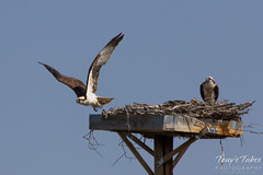 A male osprey launches from its nest