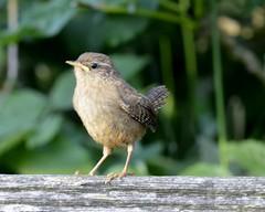 Wren (dannie843) Tags: birds wren