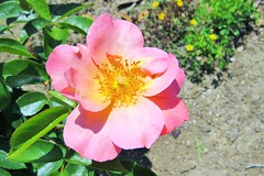 All the Rage (Patricia Henschen) Tags: rose garden illinois rosegarden wheaton alltherage cantigny shrubrose wheatonillinois robertmccormickestate