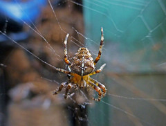 Spiderman (ArtGordon1) Tags: nature spider web arachnid davegordon davidgordon artgordon1 daveartgordon daveagordon davidagordon