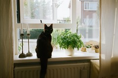 (Ffon) Tags: light summer plants holland film home window netherlands cat 35mm canon nederland curtains breeze sureshot windowsil