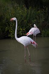 Flamingos! (Anit Nelav) Tags: pink wild summer france nature water birds flamingos provence camargue