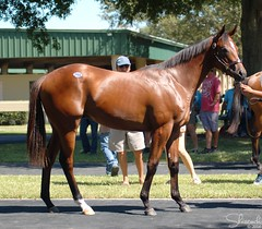 OBS Yearling Sale August 2014 (Shazstock) Tags: horse black grey bay mare gray racing chestnut colt stallion thoroughbred equine filly