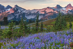 Tatoosh Range and Pink Heather (Don Geyer) Tags: morning wild summer usa mountain mountains nature ecology landscape outside outdoors volcano landscapes us washington flora scenery soft unitedstates natural outdoor scenic meadow meadows peak glacier foliage mountrainier mountrainiernationalpark glaciers wa backcountry environment mornings summertime wilderness peaks habitat volcanic diffused scenics summers ecosystem volcanos cascaderange environments wilds habitats summertimes ecosystems naturalenvironment uncultivated naturalenvironments tatooshrangeatsunrisealpenglowabovepinkheatheronmazama tatooshrangeatsunrisealpenglowabovepinkheatheronmazamaridge
