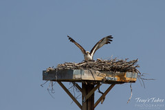 Osprey landing sequence - 10 of 14